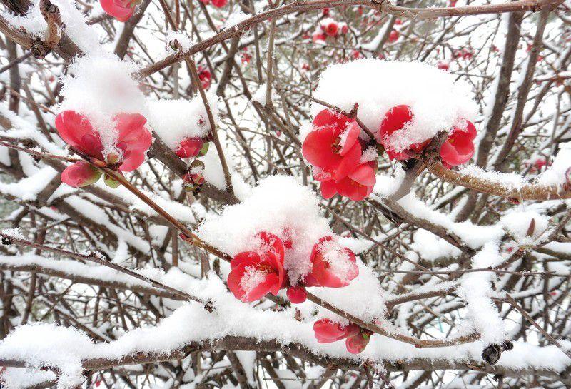 Chapitre 2281 : pommiers du Japon sous la neige