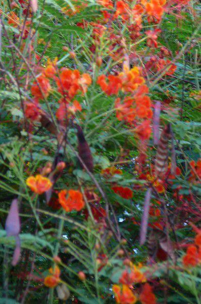 """( dans mon souvenir , ces arbustes poussaient dans la """" forêt """" , sèche et peu dense , qui garnit les pentes d'Arunachala . Mais , d'après la photo  , on dirait bien qu'ils se trouvaient en fait , entretenus et arrosés , dans l'ashram . Puis , je me demande si les """" acacias de feu """" de Maria sont bien ces mêmes fleurs , il me semble me souvenir de grappes qui descendaient , un peu comme des glycines - mais là aussi , c'est le souvenir , qui me touche encore , de Maria quand elle me faisait visiter son jardin , émerveillée devant chaque plante ....Peu importe - je sais  par expérience que , quelquefois , il suffit d'un symbole , d'une copie même pas fidèle , mais  porteurs des souvenirs d'un monde ou d'un moment heureux , pour se sentir complétement , totalement , pleinement heureux  ."""