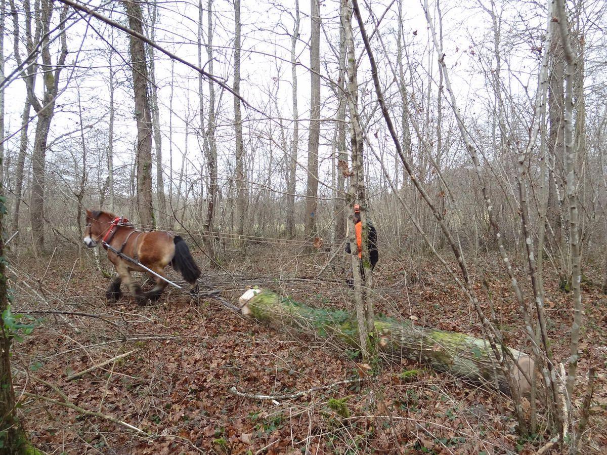 La traction animale aide à l'entretien des forêts - Cassagne