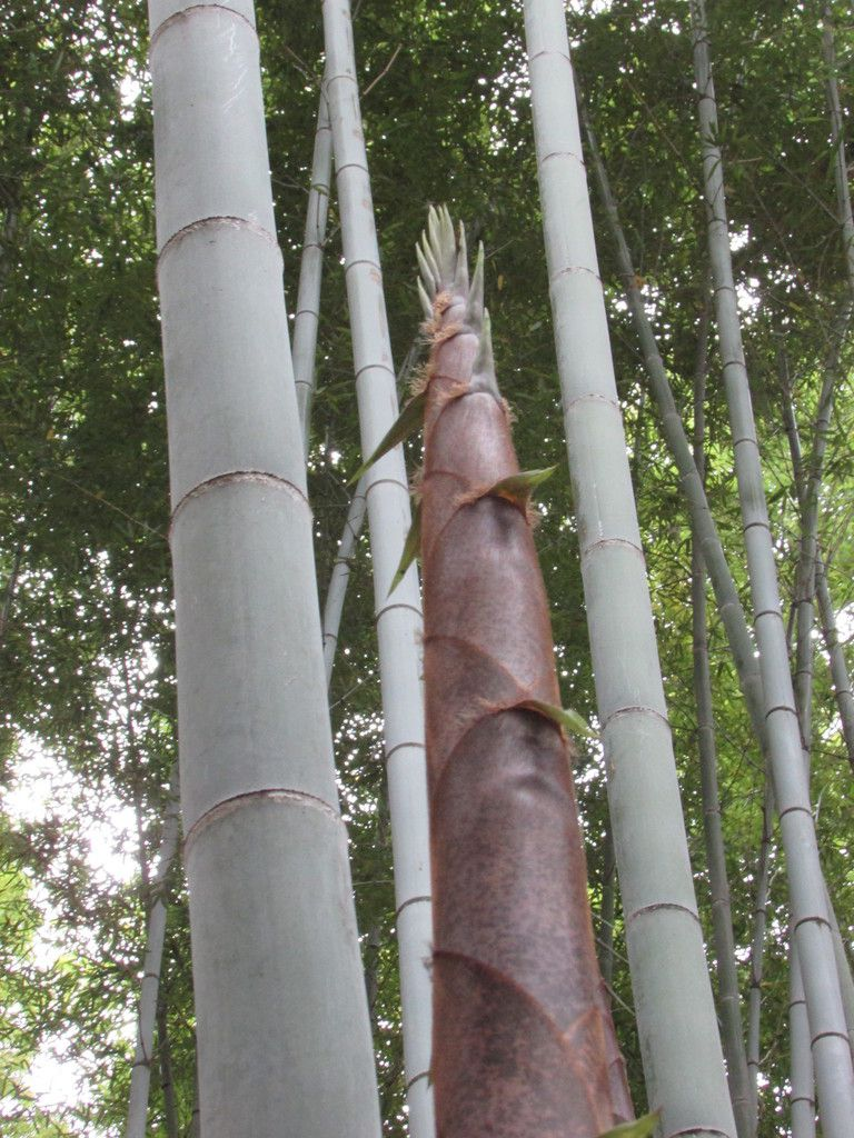 La bambouseraie d'Arashiyama à Kyoto.