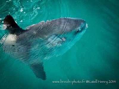 un poisson lune aux 7 Iles / Mola Mola