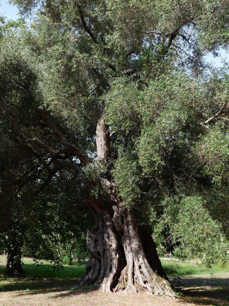 Il Cultive L Olivier variations méditerranéennes sur l'oliu d'alivu : de l