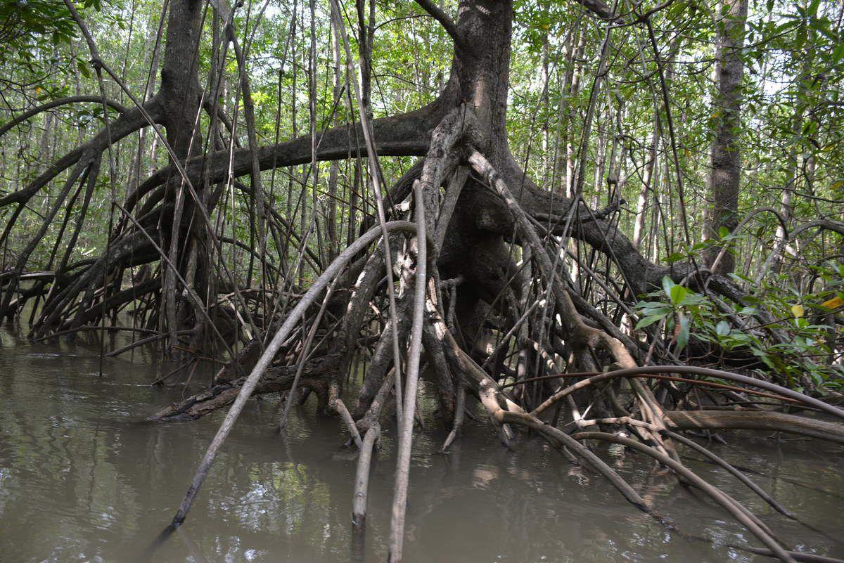 Costa-Rica - Mangrove - Photos: Lankaart (c)