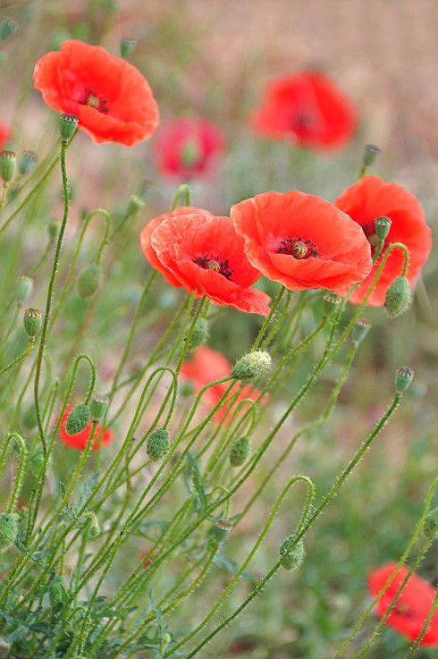 Coquelicots, Poppies