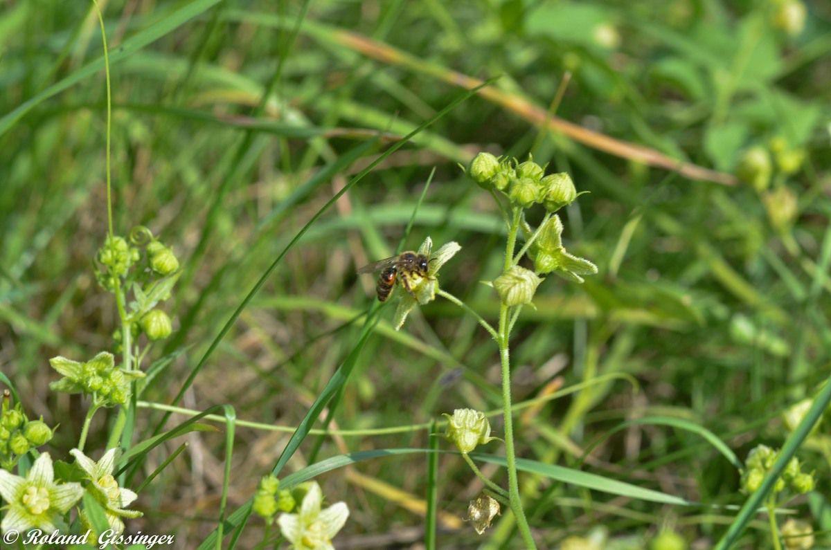 L'Andrène de la bryone  (Andrena florea)