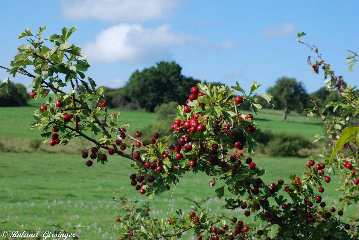 fruits de L'Aubépine ou Epine blanche ou Bois de mai ou Valériane du coeur  (Crataegus monogyna)