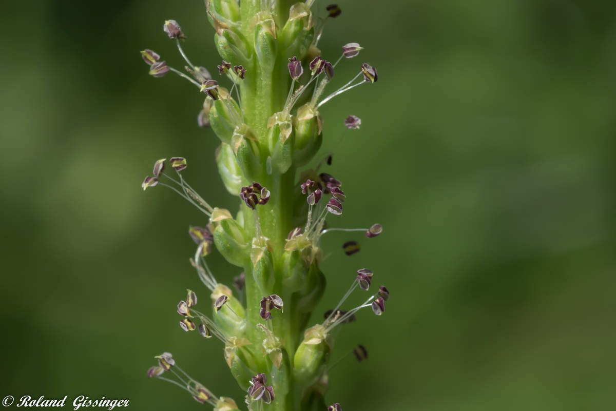 Epi  de Plantain majeur, Grand plantain (Plantago major)