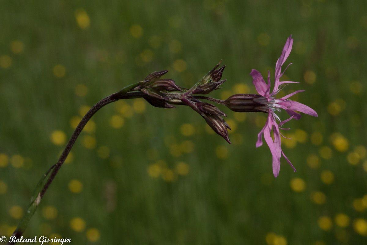 Fleurs et et feuilles de Silène fleur de coucou /Lychnide fleur de coucou, Œil-de-perdrix (Lychnis flos-cuculi )