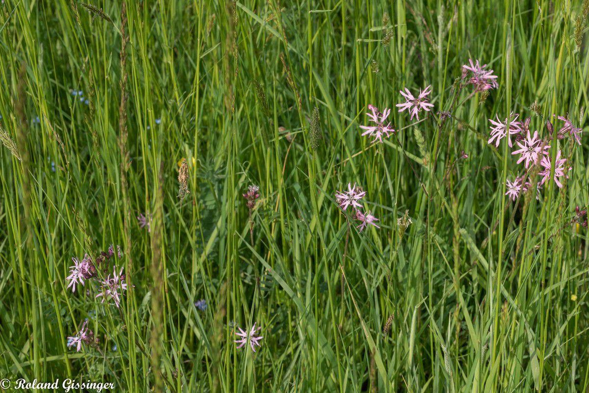 Silène fleur de coucou /Lychnide fleur de coucou, Œil-de-perdrix (Lychnis flos-cuculi )