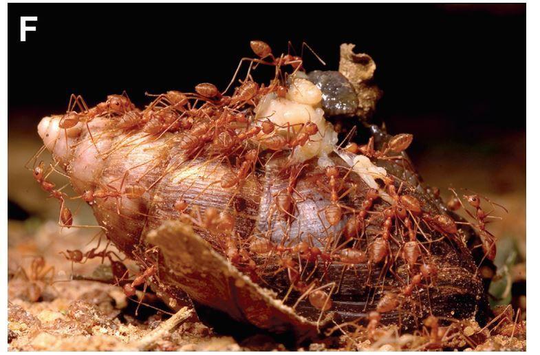 Fourmis rouges s'alimentant sur un cadavre d'escargot géant africain (Achatina fulica).