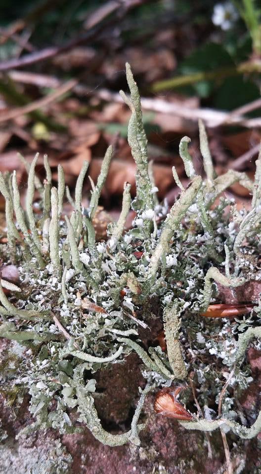 Cladonia subulata  Photo Gilles Weiskircher (Anab)