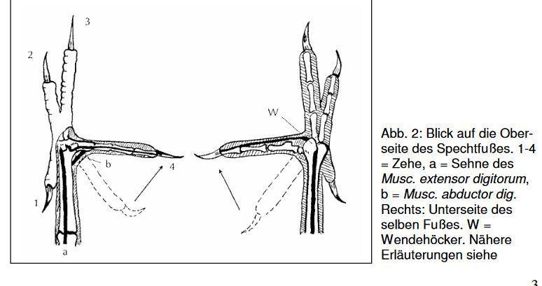 Schémas expliquant adaptations de la langue et des pattes du Pic noir