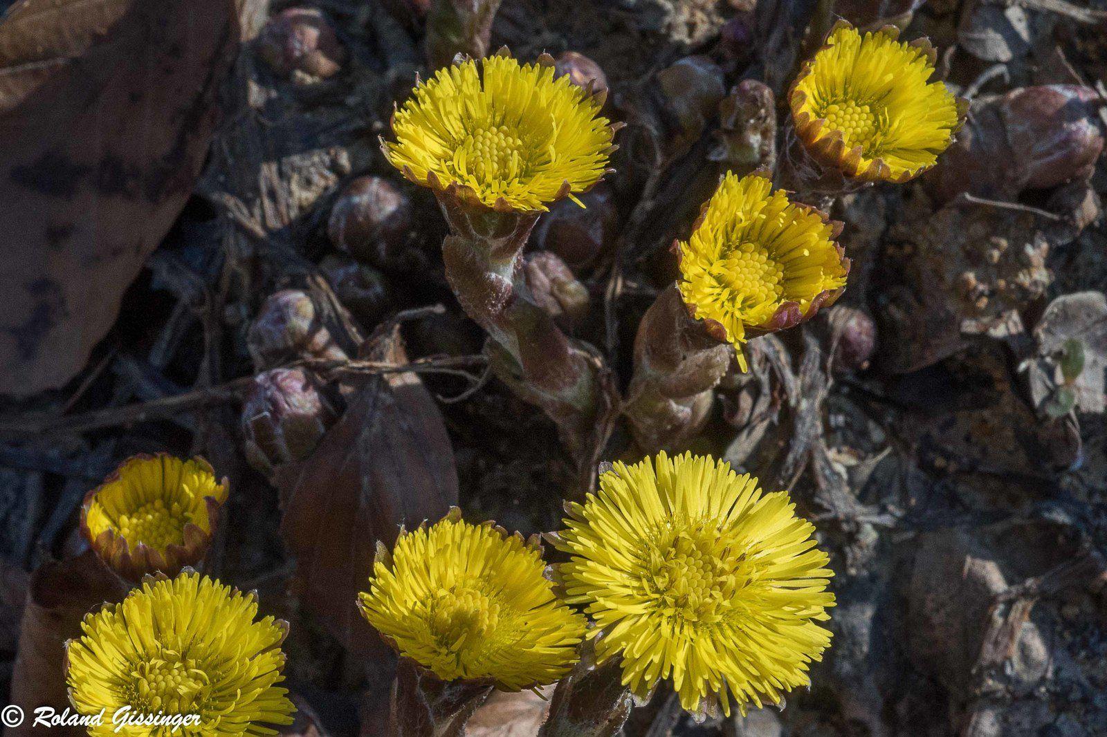 sols imperméables et retournés- apparition du Tussilage (Tussilago farfara)