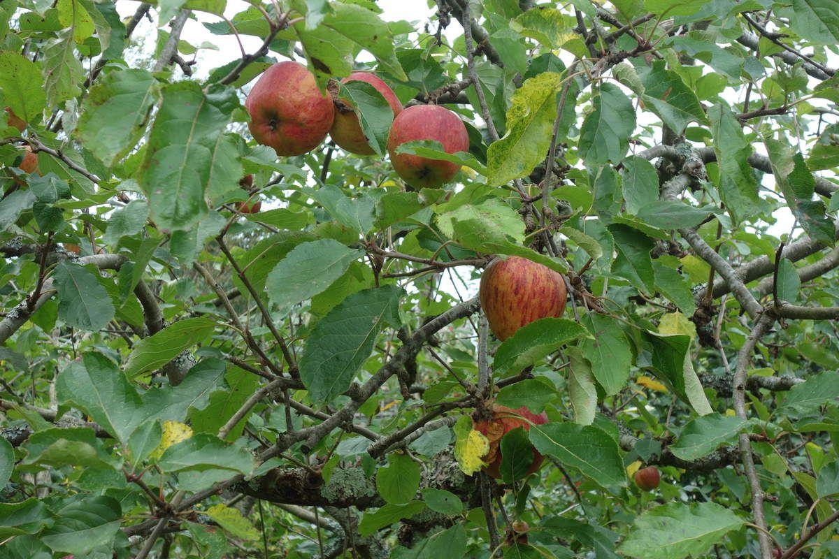 Les pommes du seigneur du lieu