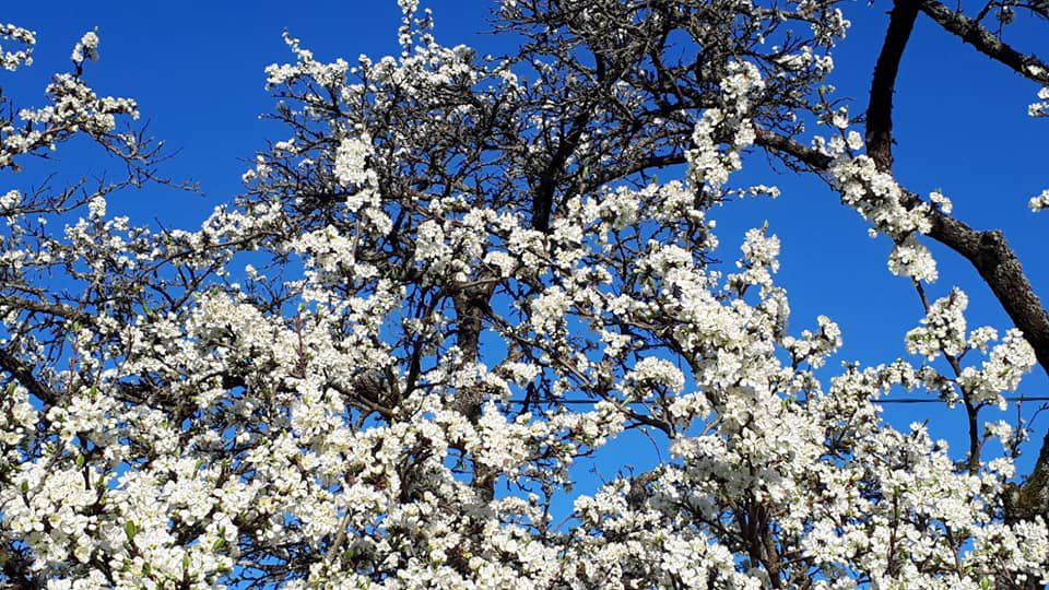 Mirabelliers en pleine floraison en Alsace /