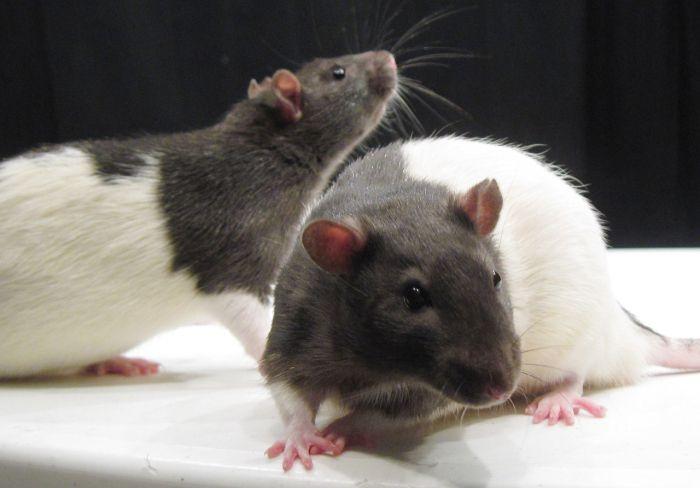Les ondes « boosteraient » le taux de cancer chez les rats