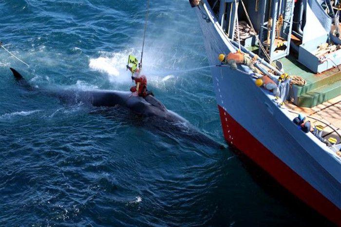 Un militant de Greenpeace perturbant une chasse à la baleine d'un navire japonais.