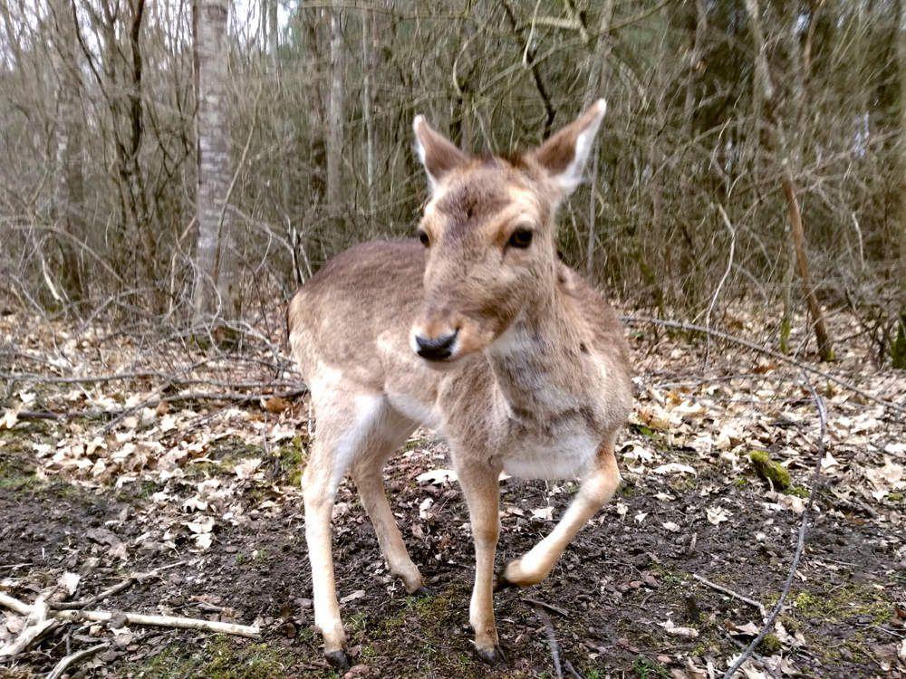 Un petit daim dans sa forêt du Poitou