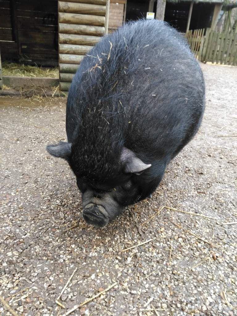 2019 sera l'année du cochon de terre