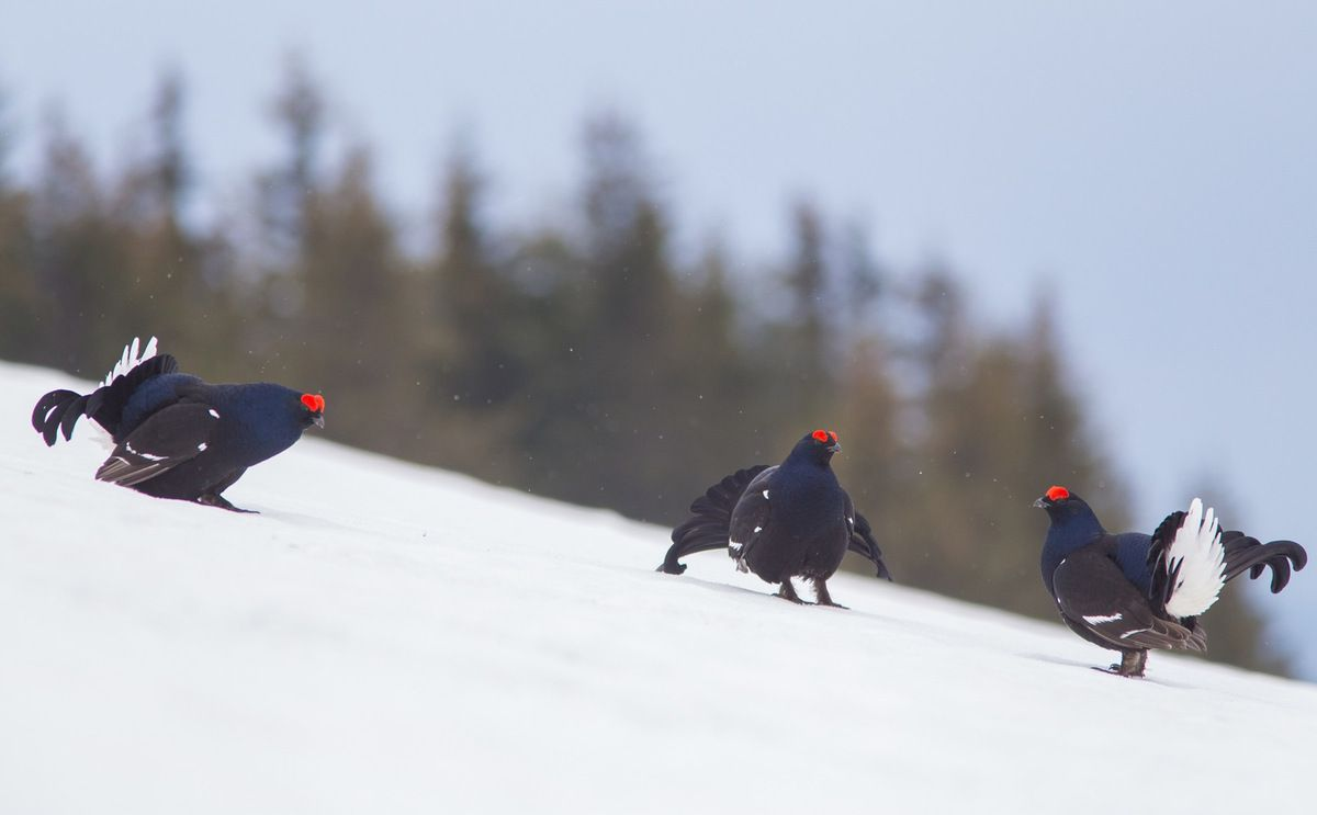 Toujours la petite neige mais avec trois coqs
