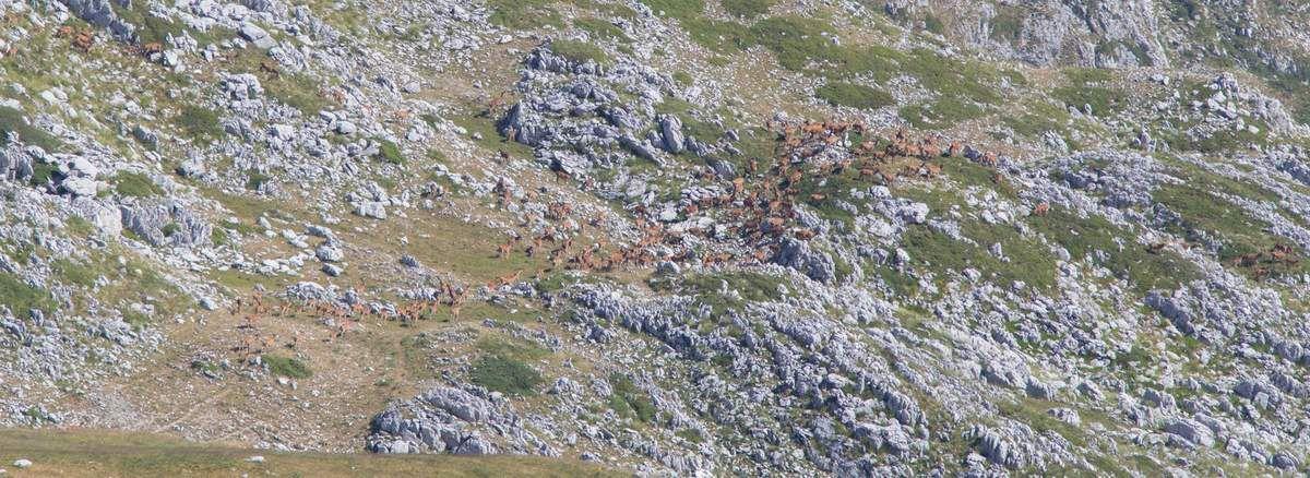 350 biches et cerfs en deux gros troupeaux (!!!) Du jamais vu par chez nous