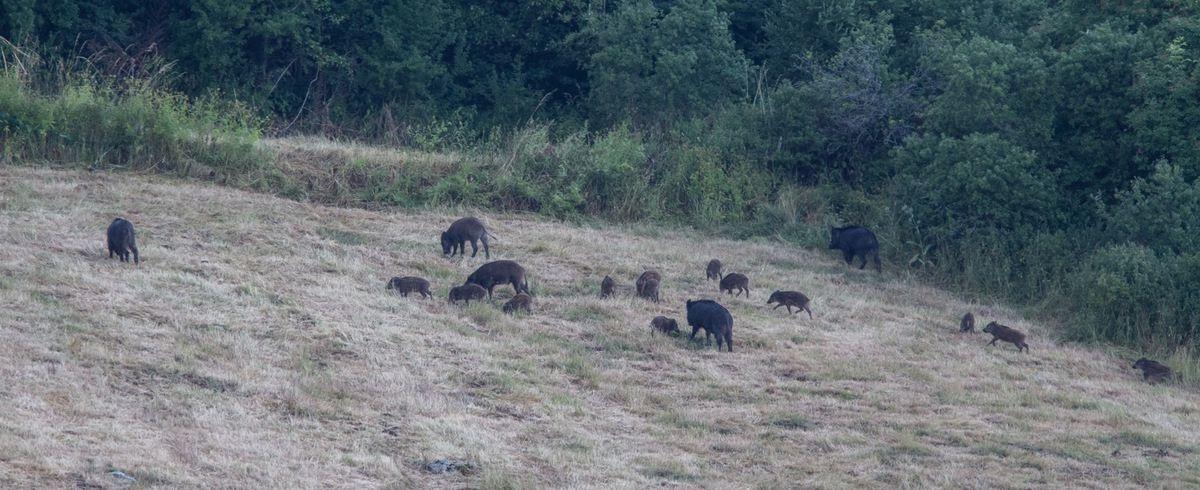 Jusqu'à dix-huit animaux sur ce groupe de laies et de leurs marcassins