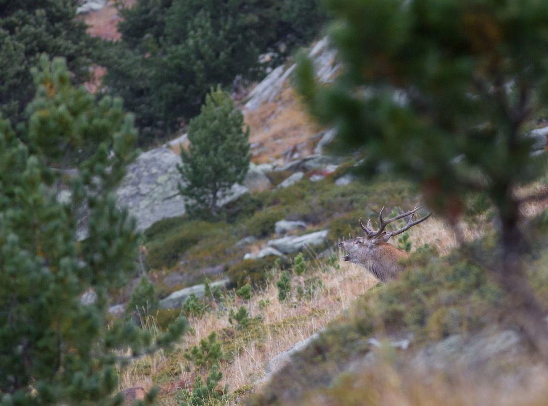 Le premier cerf observé. Pas une belle ramure. Typique d'un cerf de montagne au régime alimentaire assez limité