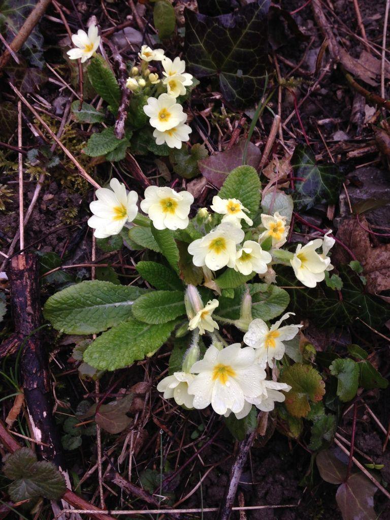 Footing du matin et les prémices du printemps (jonquille, primevère, perce-neige)