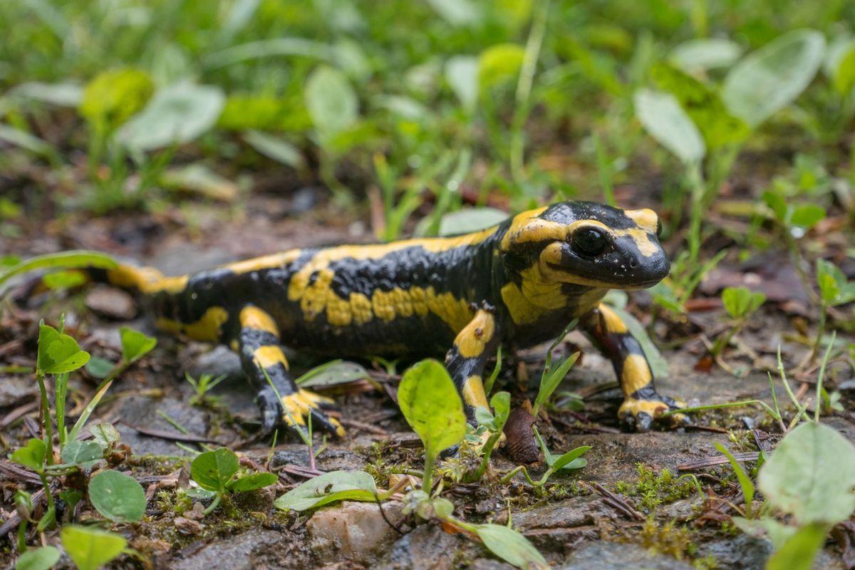 Ce qui plaît à certains animaux : salamandre tachetée