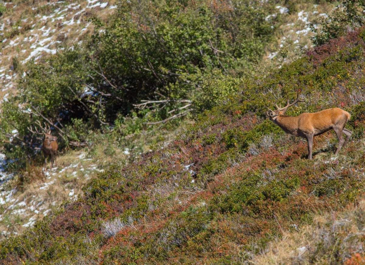 Un cerf vient le défier. Malgré une plus grosse ramure, il repartira avec une belle leçon et un bois en moins.