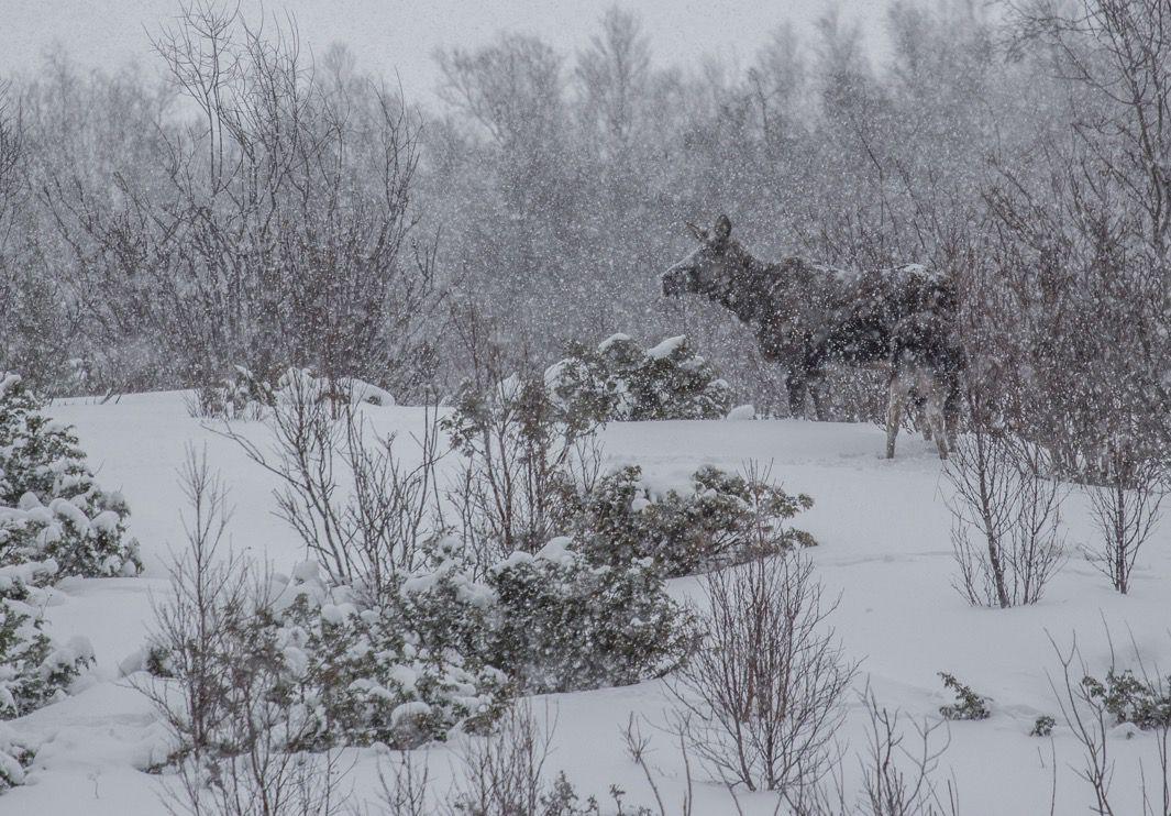 La Norvège... Lyngen. C'est passé ric-rac. Un séjour avec le Tintin qui a comblé pratiquement toutes les espérances : 12 courses dont 4 couloirs raides, un décor exceptionnel, du grand ski, des animaux (élans, pygargues, phoques...), des aurores boréales et beaucoup, beaucoup de neige. Le tout avec le côté aventure de la recherche et d'un minimum d'éloignement.