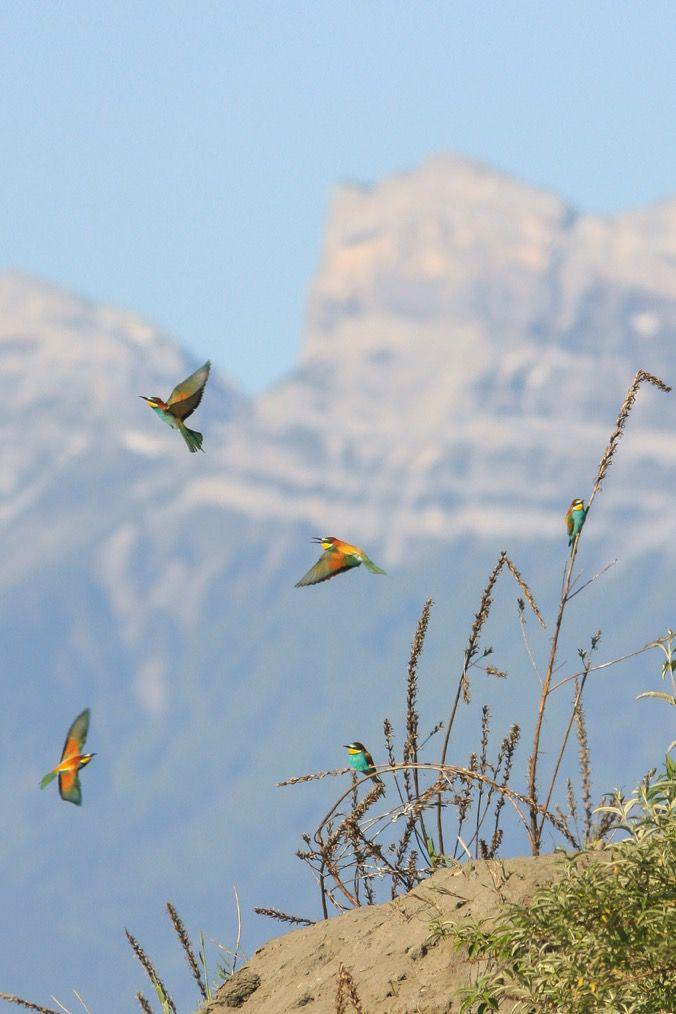 Guêpier, archive sur le même site. Une image que j'aime bien, avec la montagne (Pic SM) en arrière-plan, pas courant pour cet oiseau.