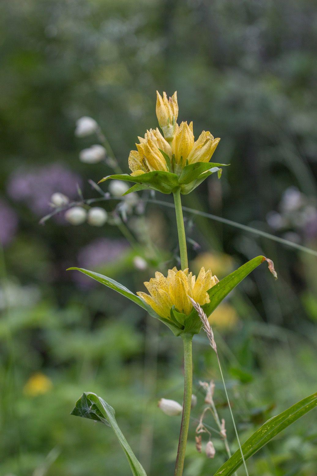 Observation d'animaux (ici une biche), fleurs de juillet (gentiane jaune, épilobe), récoltes de fruits d'été (framboises, myrtilles bientôt) et immersion.