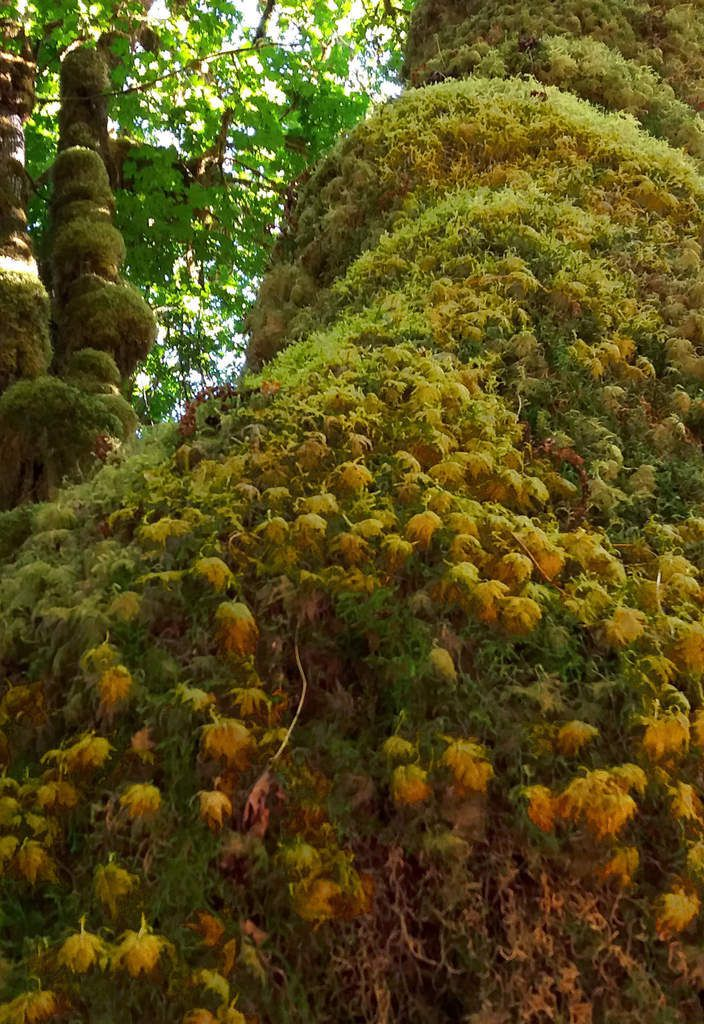 Olympic National Park Hoh Rainforest Hall of Mosses
