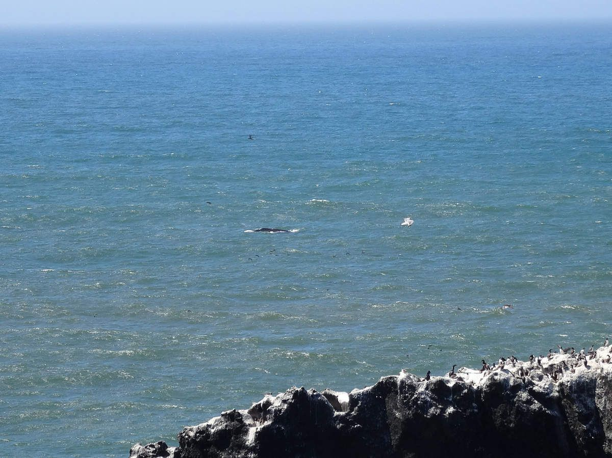 Oregon Coast Yaquina Head baleine