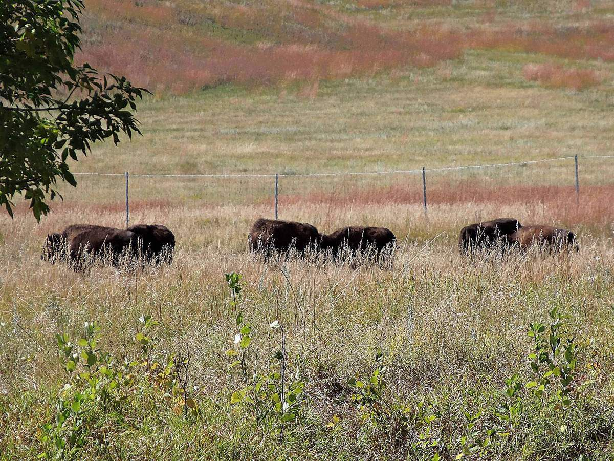 Custer State Park bisons
