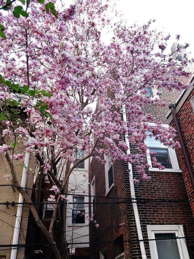 Philadelphie Magnolia