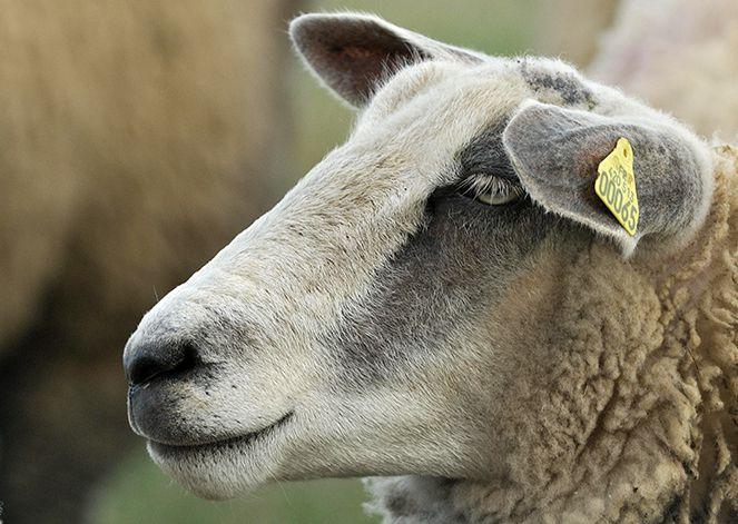 Moutons Boulonnais.