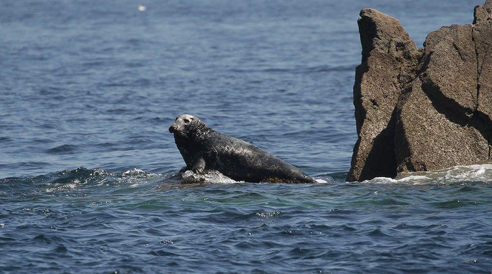 Mâle de phoque gris se prélassant sur un rocher.