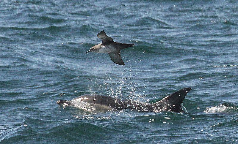 Puffin des Baléares et dauphins communs.