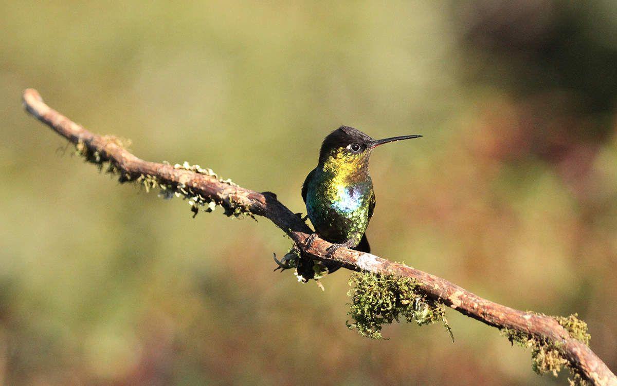 Colibri insigne mâle, encore d'autres couleurs !