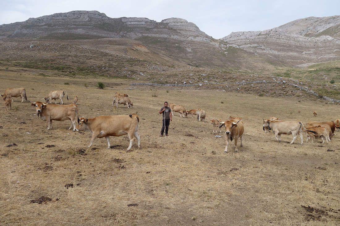 Vaches Asturiana de la montaña