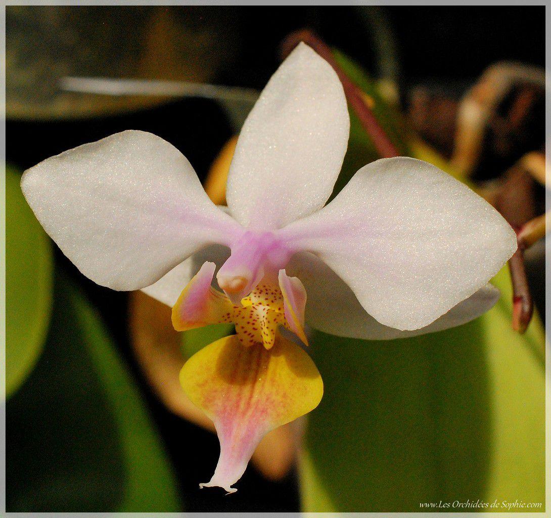 Phalaenopsis Artemis