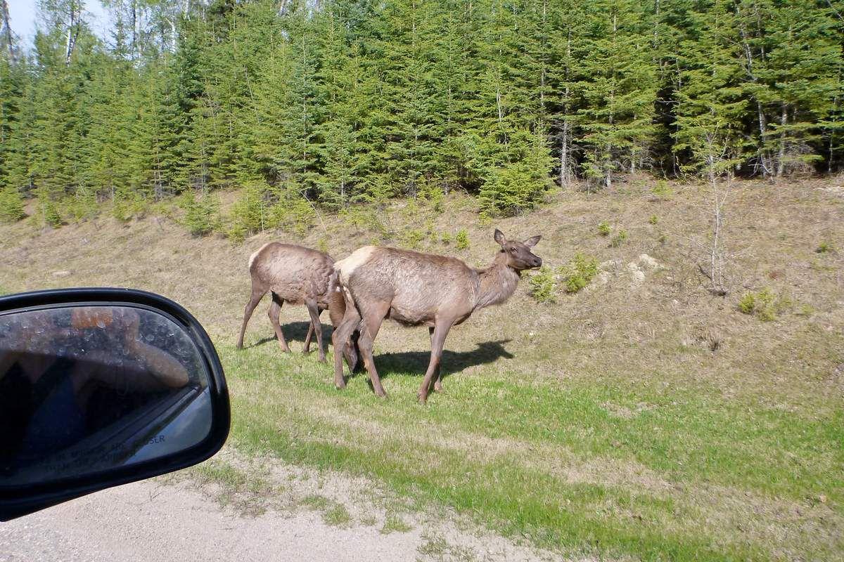Canada - Celui qui rencontrait ses premiers ours