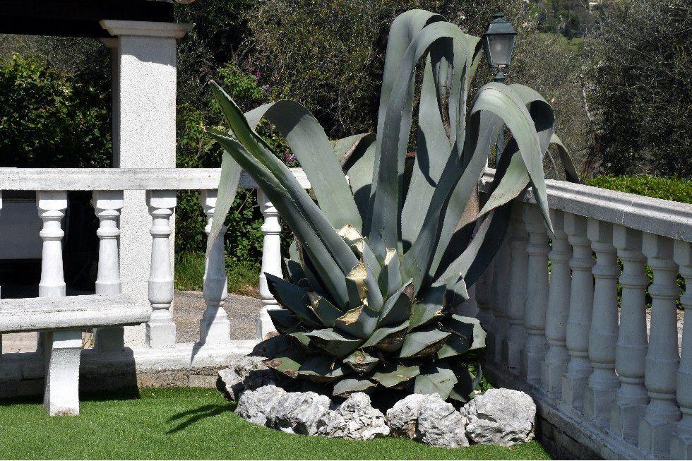 MES PLANTES GRASSES ONT VU JOHN WAYNE