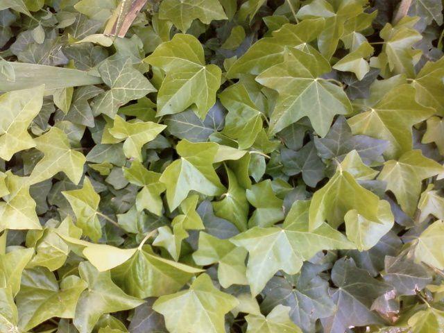 Le lierre s'enroule et déroule ses feuilles vernissées...