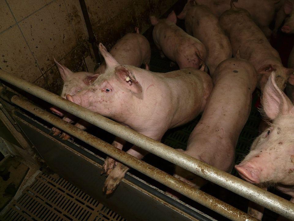L'élevage industriel des cochons en Allemagne...