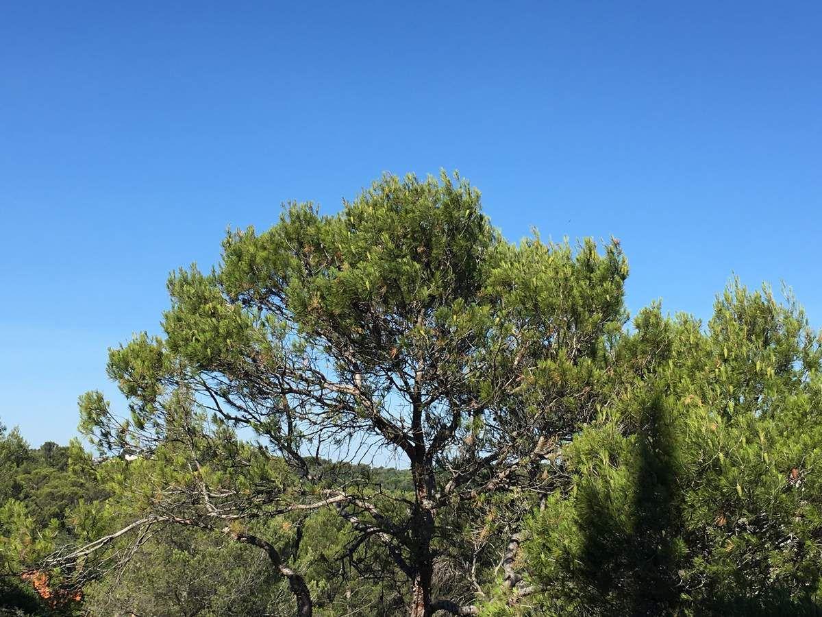 Chants des oiseaux dans les pins...