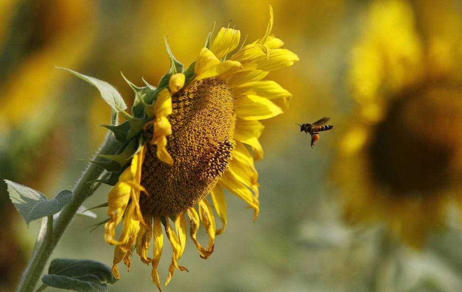 Le covid-19 fait le bonheur des abeilles...