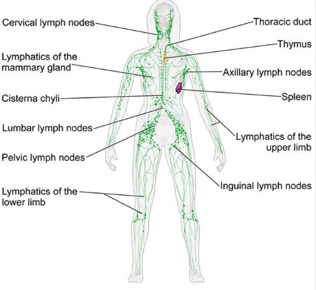 Oedème Lymphatique